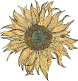 Ragged Sunflower