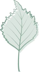 Green Linden Leaf
