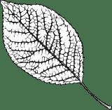 Black & White Elm Leaf