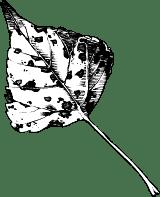 Black & White Birch Leaf