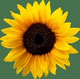 Big Sunnflower